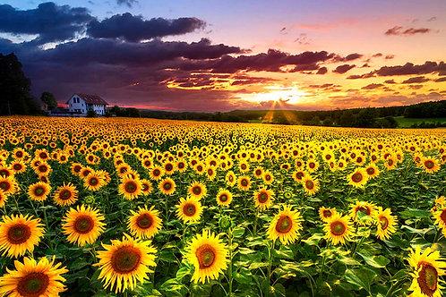 Le champs de tournesols