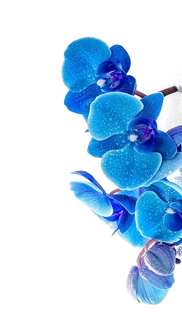 Orchid_Blue_Drops_White_background_53549