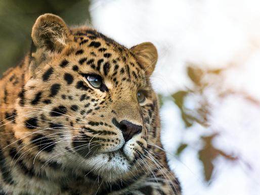 Goda nyheter: Nordkinesiska leoparden ökar i antal