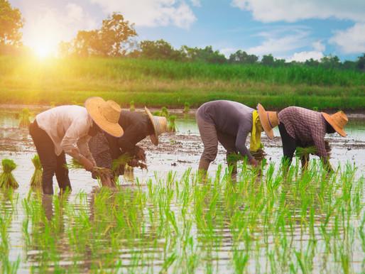 Goda nyheter: I Kambodja har risodlare gått från att skövla till att bli skogens beskyddare