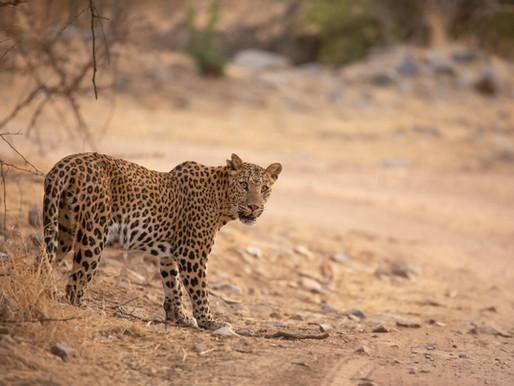Goda nyheter: Leoparder i Indien ökar i antal