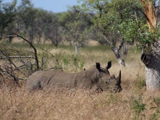 Tjuvjakten på noshörningar minskar för femte året i rad