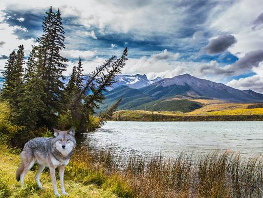 Goda nyheter: Tack vare en folkomröstning ska varg återintroduceras i delstaten Colorado