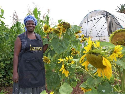 Urbana trädgårdar slår rot i Johannesburg