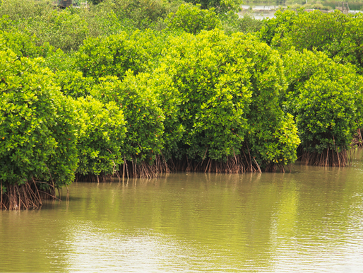 Inspiration: Indien återställer mangroveskogar