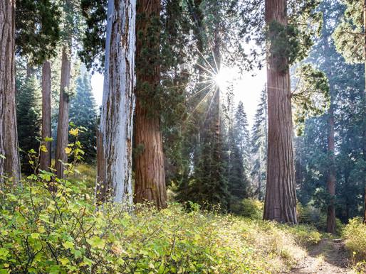 Världens största privatägda sequoidaskog skyddas för framtida generationer