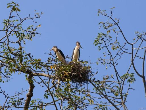 Inspiration: Kvinnorna som räddar Indiens storkar