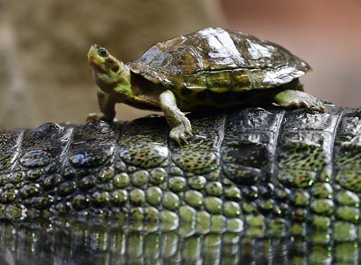 Goda nyheter: Stor framgång med att rädda en sköldpaddsart från utrotning