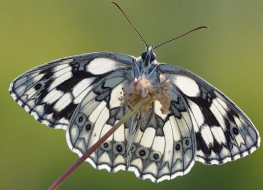 Rekordår för fjärilar i Storbritannien