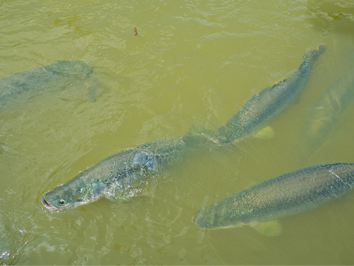 Goda nyheter: En av världens största sötvattenfiskar simmar en ljusare framtid till mötes