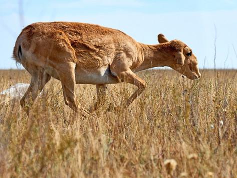 Goda nyheter: Akut hotad antilopart återhämtar sig kraftigt