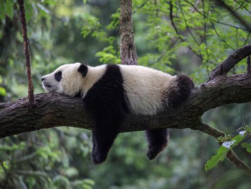 Goda nyheter: I Kina ses rovdjur numera som en viktig del av ett fungerade ekosystem