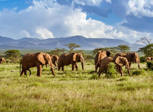 Goda nyheter: Antalet elefanter i Kenya har fördubblats de senaste 30 åren