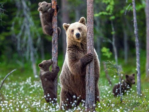 Goda nyheter: Yellowstones grizzlybjörnar får ej jagas