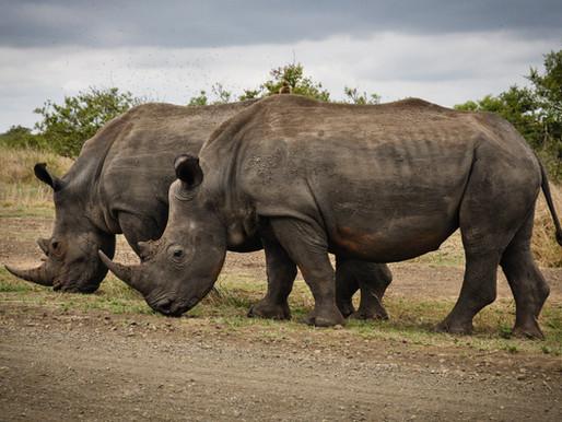Framgångar med att minska tjuvjakten på noshörningar