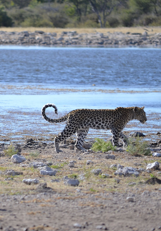 leopard-2282425.jpg