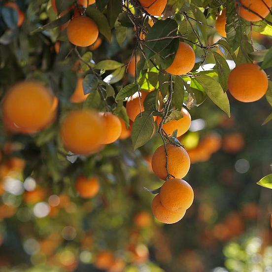 del'horta_orangetree.png
