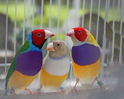 Lady Gouldian Finch.jpg