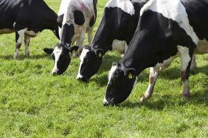 El cortejo fúnebre de una vaca