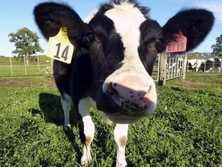 "¡Señora Vaca, usted sabe ""trabajar""!"