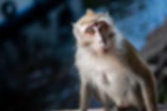 8 - Macaque.jpg
