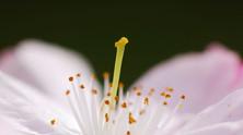 Se in questo mondo non ci fossero cose come il fiore di ciliegio
