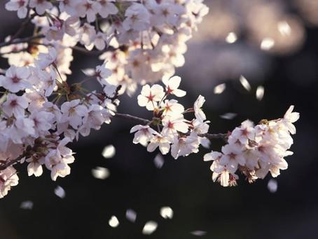 Siamo fiori di ciliegio