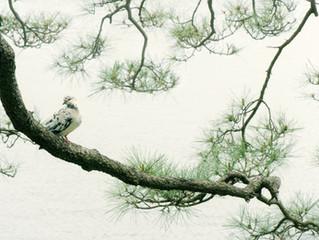 Karasakinomatsu il pino nero sull'acqua
