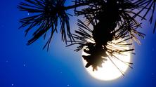La luna e il pino giapponese