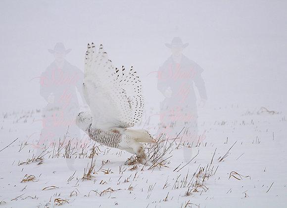 Snowy Owl Taking Flight #1