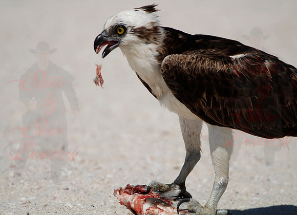 Osprey with Fish 4