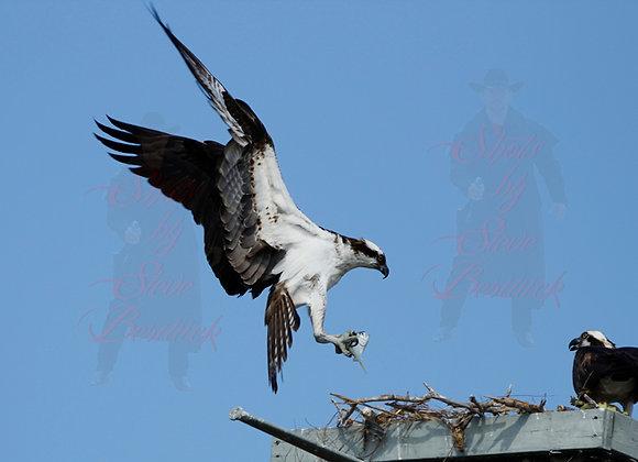 Osprey with Fish 7