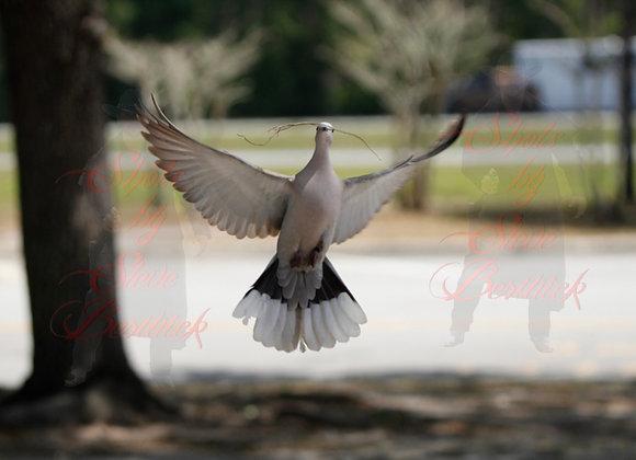 Morning Dove 1