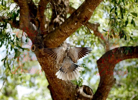 Morning Dove 3