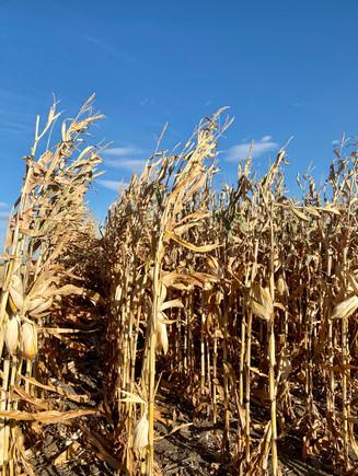 Corn ready for harvest