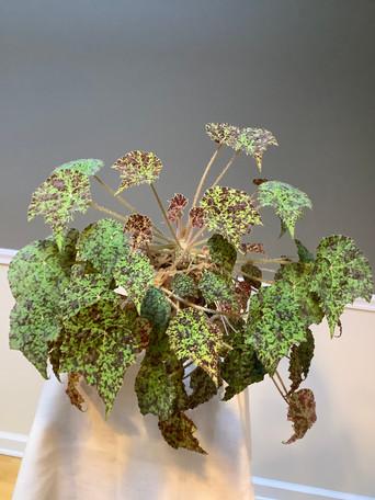 Begonia rex 'Marmaduke' - Wendy Mager