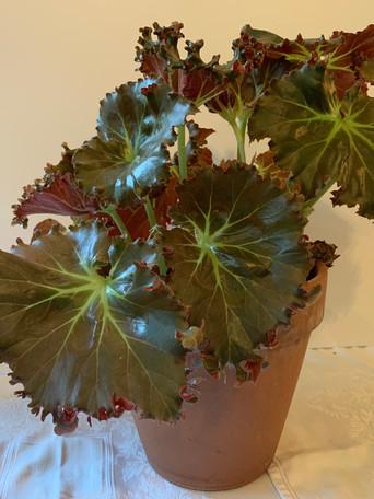 Begonia 'Madame Queen' - Debbie Jordan
