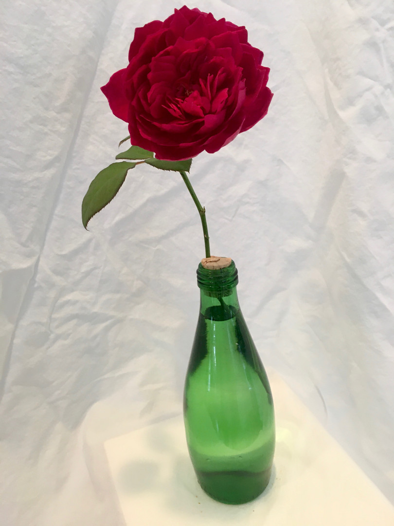 Rosa 'Sophy's Rose' - Mary Funsch