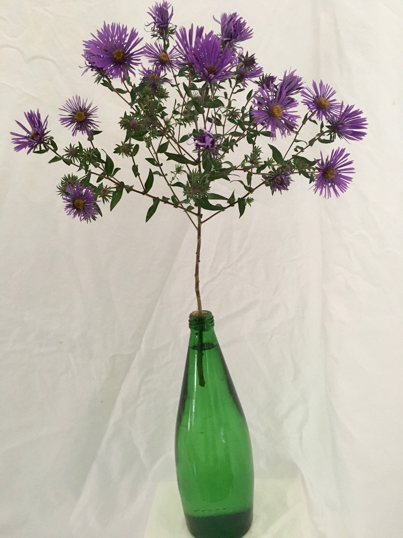 Aster amellus - Mary Funsch
