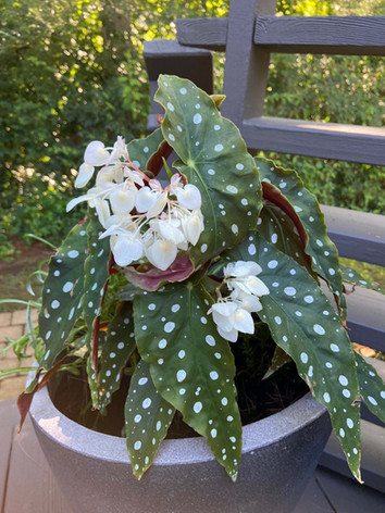 Begonia maculata - Linda Pond
