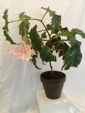 Begonia 'Irene Nuss' - Mary Funsch