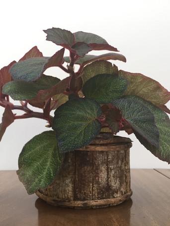 Begoniaceae - Dorothy Shepard