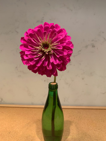 Zinnia elegans 'Purple Prince' - Jane Murphy