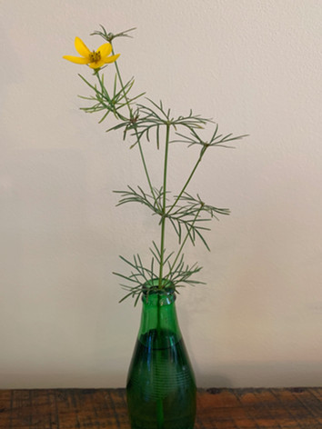 Coreopsis verticullata 'Zagreb' - Penny Thomas