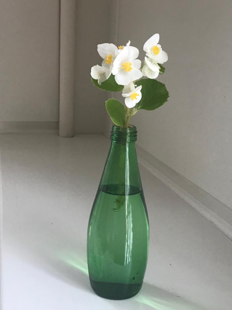 Begonia 'Semperflorens' - Anne Sobel