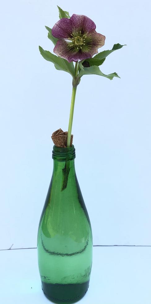 Helleborus orientalis - Gillian Reeder