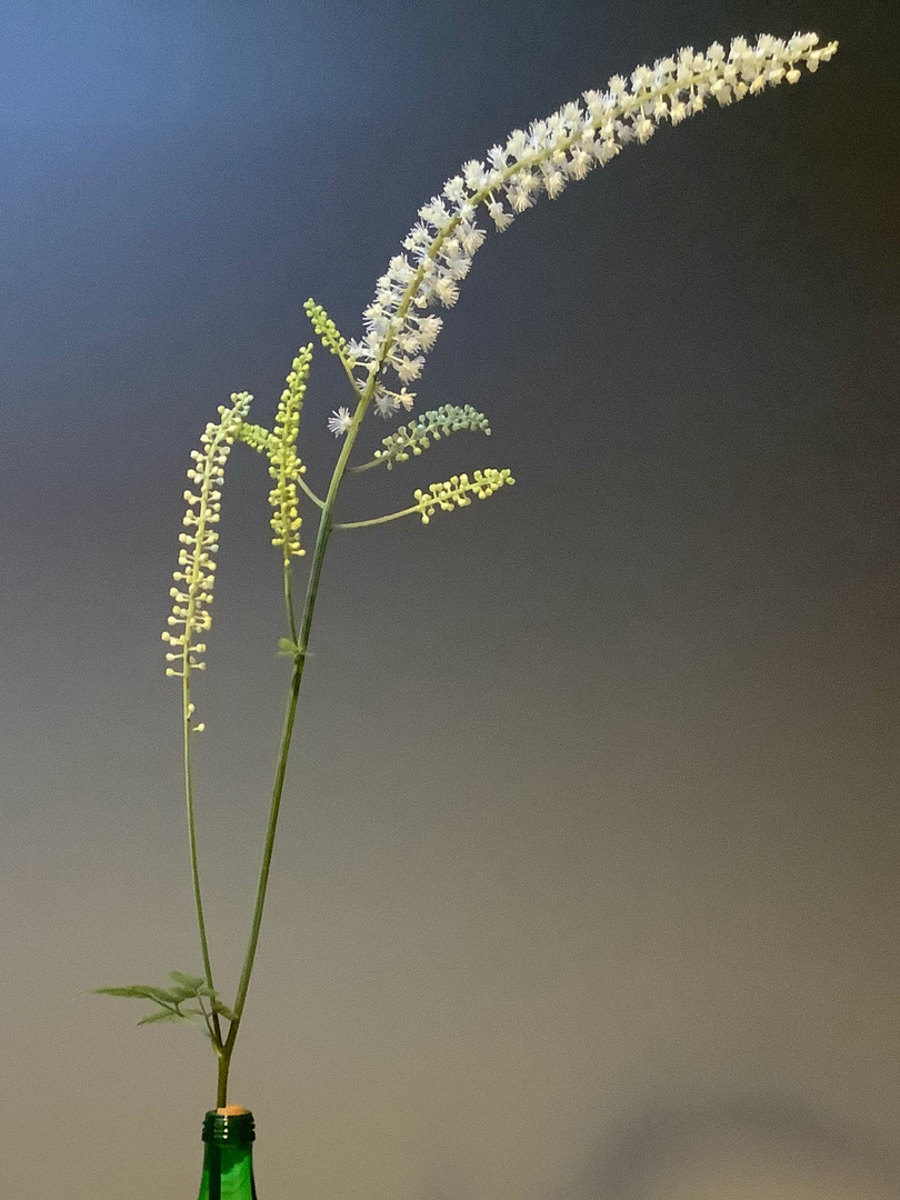 Actaea racemosa - Wendy Mager