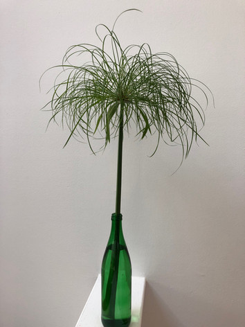Cyperus papyrus 'Prince Cut' - Jeanette Ching
