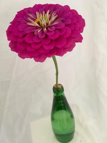 Zinnia elegans 'Uproar Rose' - Mary Funsch