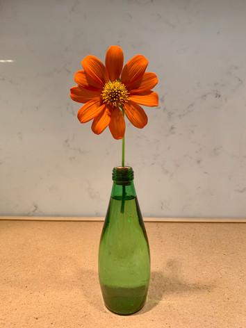 Tithonia rotundifolia 'Torch' - Jane Murphy